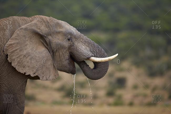 African elephant (Loxodonta africana) drinking, Addo Elephant National Park, South Africa, Africa