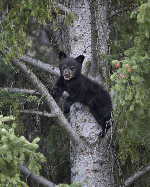 Black bear (Ursus americanus) cub of the year in a tree, Yellowstone National Park, Wyoming, United States of America
