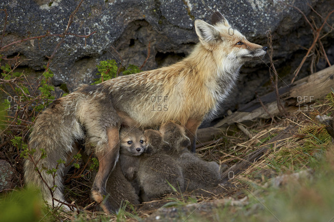 Red fox (Vulpes vulpes) (Vulpes fulva) vixen nursing her kits, Yellowstone National Park, Wyoming, United States of America