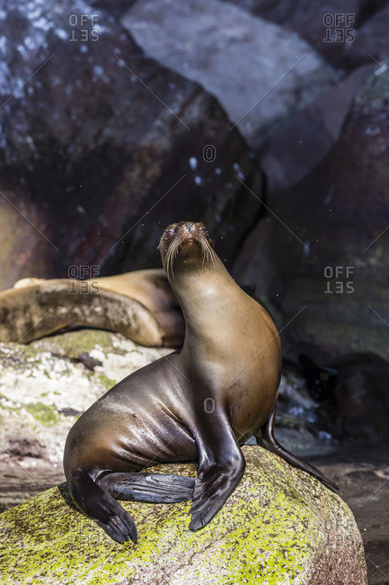 California sea lion (Zalophus californianus) on Isla San Pedro Martir, Baja California, Mexico
