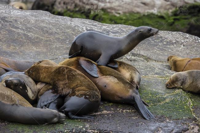 California sea lions (Zalophus californianus) hauled out on Isla San Pedro Martir, Baja California, Mexico