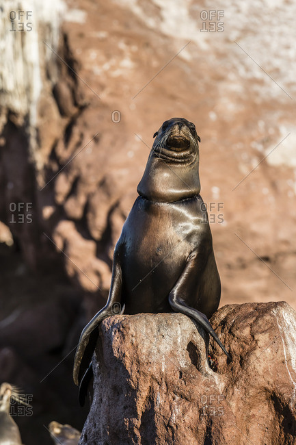 California sea lion (Zalophus californianus) with monofilament net around its neck on Los Islotes, Baja California Sur, Mexico