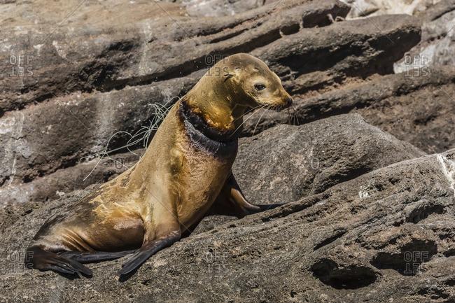 California sea lion (Zalophus californianus) female with monofilament net around her neck on Los Islotes, Baja California Sur, Mexico
