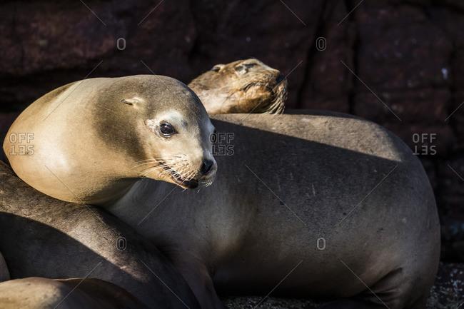 California sea lions (Zalophus californianus) hauled out on Los Islotes, Baja California Sur, Mexico