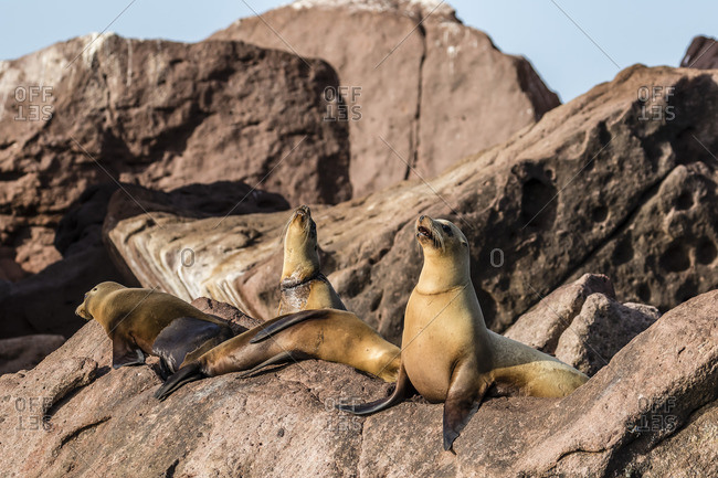California sea lions (Zalophus californianus) with monofilament net around their neckst on Los Islotes, Baja California Sur, Mexico