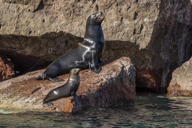 California sea lion (Zalophus californianus) bull and pup hauled out on Los Islotes, Baja California Sur, Mexico
