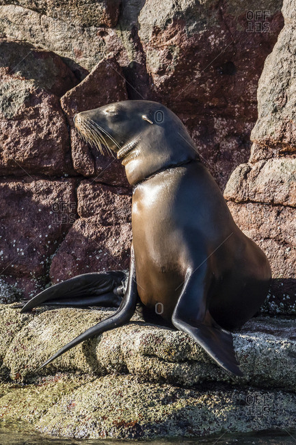 California sea lion (Zalophus californianus) with monofilament net around its neck on Los Islotes, Baja California Sur, Mexico