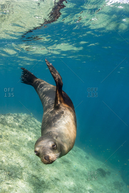 Adult California sea lion (Zalophus californianus) underwater at Los Islotes, Baja California Sur, Mexico
