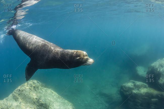 Adult California sea lion (Zalophus californianus) bull underwater at Los Islotes, Baja California Sur, Mexico