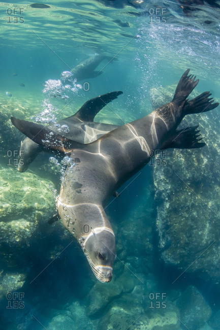 Adult California sea lions (Zalophus californianus) underwater at Los Islotes, Baja California Sur, Mexico