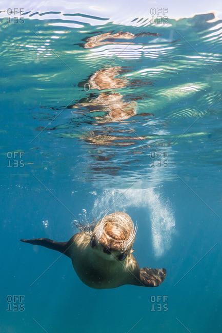Adult California sea lion (Zalophus californianus) underwater at Los Islotes, Baja California Sur, Mexico
