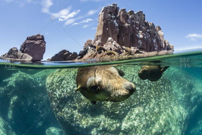 California sea lions (Zalophus californianus), half above and half below at Los Islotes, Baja California Sur, Mexico