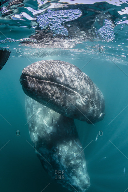 California gray whale (Eschrichtius robustus) mother and calf underwater in San Ignacio Lagoon, Baja California Sur, Mexico