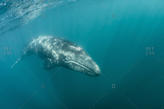 California gray whale (Eschrichtius robustus) calf underwater in San Ignacio Lagoon, Baja California Sur, Mexico
