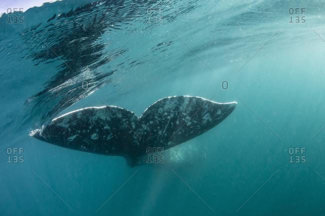 California gray whale (Eschrichtius robustus) flukes underwater in San Ignacio Lagoon, Baja California Sur, Mexico