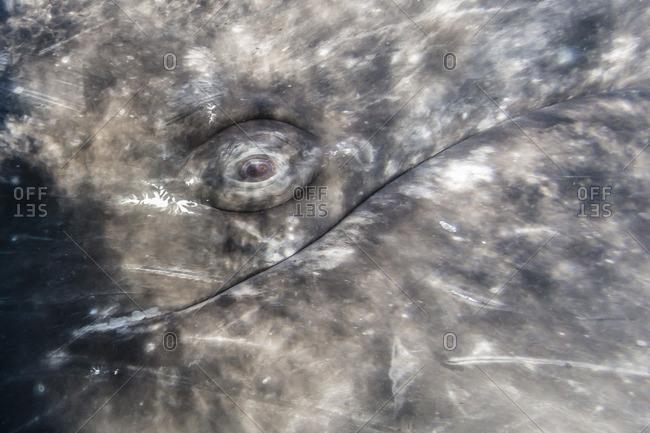 Close-up of eye of a California gray whale (Eschrichtius robustus)l underwater in San Ignacio Lagoon, Baja California Sur, Mexico