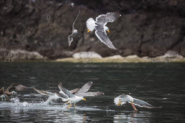 Yellow-footed gulls (Larus livens) and Heermann's gulls (Larus heermanni) fight for a squid on Isla Ildefonso, Mexico