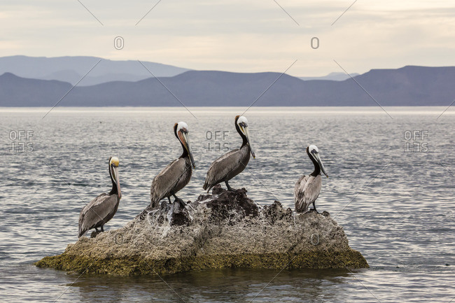 Adult brown pelicans (Pelecanus occidentalis), Isla Ildefonso, Baja California Sur, Mexico