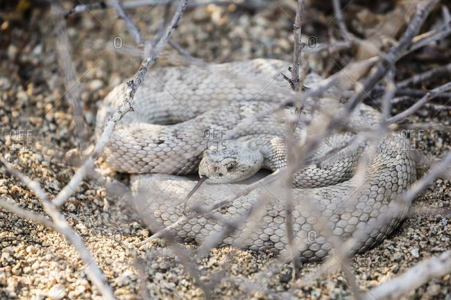 Ash colored morph of the endemic rattleless rattlesnake (Crotalus catalinensis), Isla Santa Catalina, Baja California Sur, Mexico