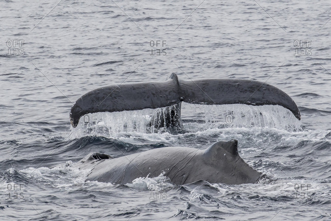 Adult male humpback whales (Megaptera novaeangliae) compete for a female in esterus, San Jose del Cabo, Baja California Sur, Mexico