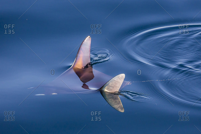 Mobula, Mobula spp, with wingtips above the surface near Isla Danzante, Baja California Sur, Mexico