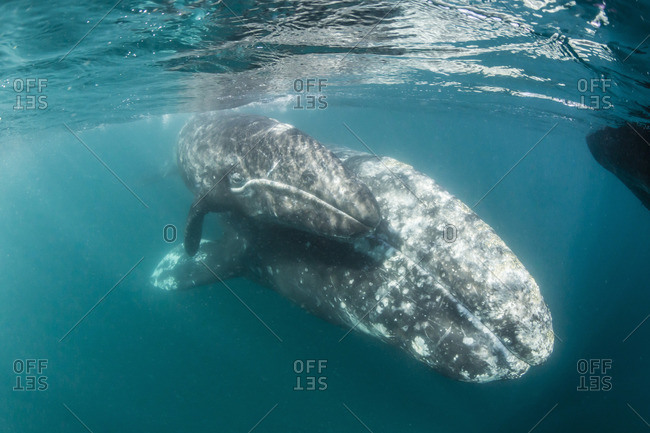 California gray whale (Eschrichtius robustus) mother and calf underwater in San Ignacio Lagoon, Baja California Sur, Mexico