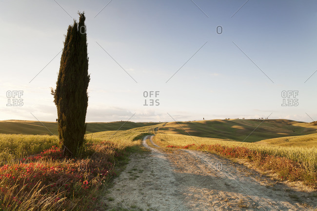 Tuscan landscape with cypress tree, near San Quirico, Val d'Orcia (Orcia Valley), UNESCO World Heritage Site, Siena Province, Tuscany, Italy