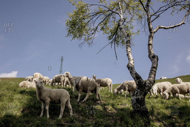 Sheep grazing in Italian hills
