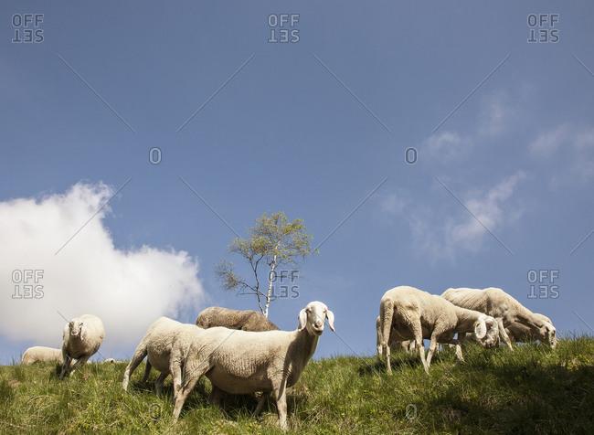 Sheep grazing in rural Italian hills