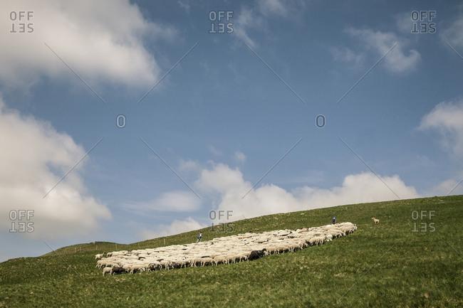 Sheep herd grazing in Italian hills