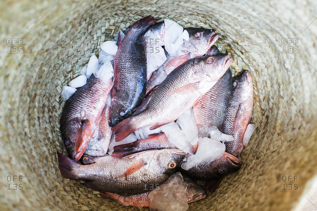 A woven basket full of small red fish on ice