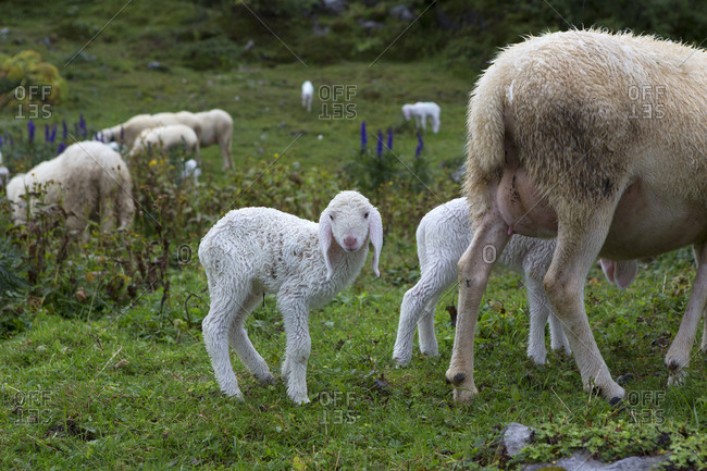 A lamb is wet after rainy weather in the Valle Brembana