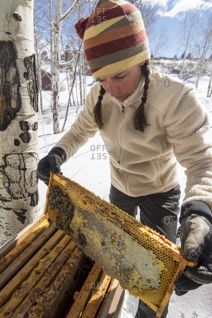 A woman opens a beehive in the winter to check on the honey supply, Ridgway, Colorado