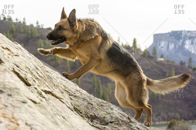 A German Shepherd dog runs up a sandstone slope near Durango, Colorado