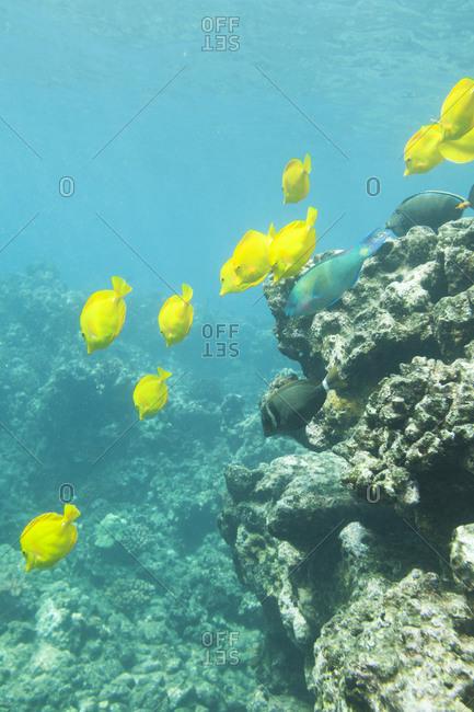 Fish swim at the Hulopo`e Bay Marine Life Conservation District, Lana`i Hawai`i