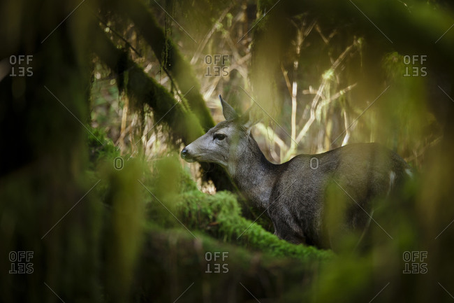 Black-tailed Deer (Odocoileus hemionus columbianus) in  thick forest, British Columbia, Canada