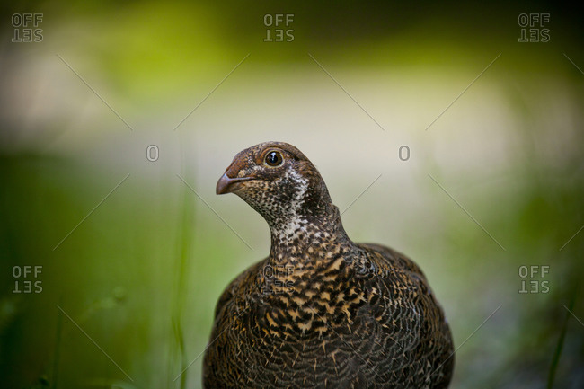A female Spruce Grouse (Falcipennis canadensis)