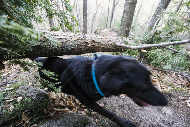 A dog sliding under a tree that fell across a trail in the woods