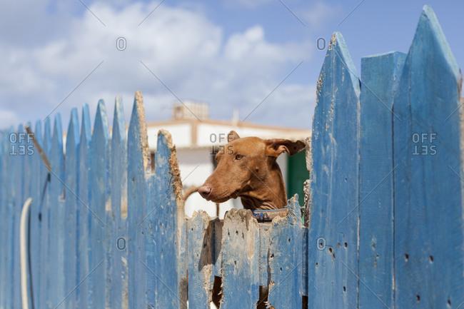 Portrait of a Greyhound dog