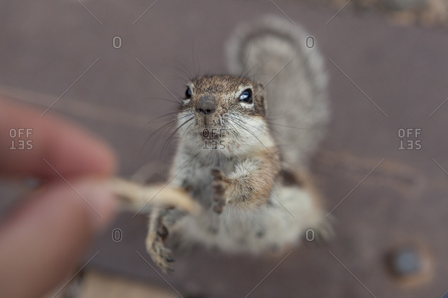 A squirrel trying to reaching some food from a person's hand