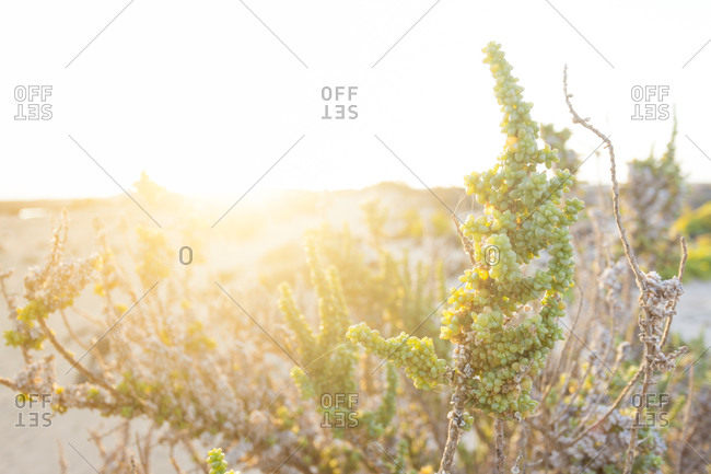 Green plant with sunrise in the background