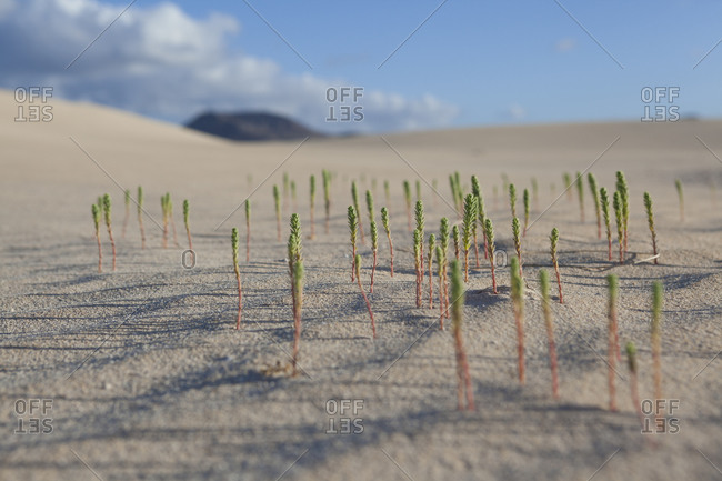Very low point of view of Green small desert plant coming out from the sand dunes