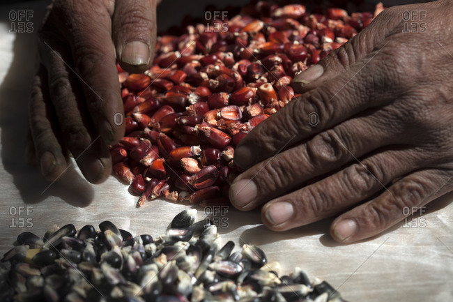 Moving red corn seeds