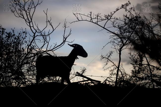A goat walks in the forest in Prado del Rey, Sierra de Cadiz, Andalusia, Spain