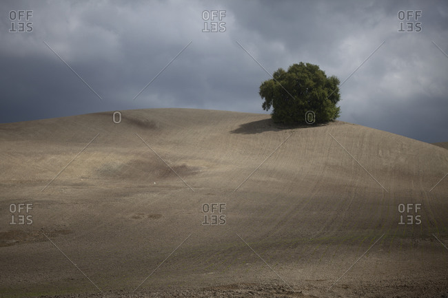 A single tree remains from a forest in a monoculture  deforested field in Prado del Rey, Sierra de Cadiz, Andalusia, Spain