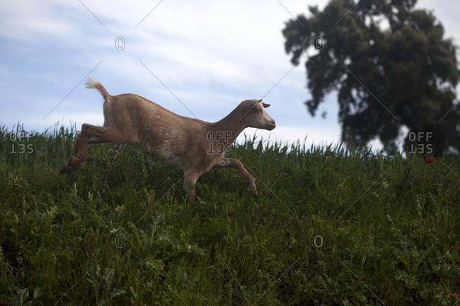 A goat walks near a monoculture field of genetically modified wheat in Prado del Rey, Sierra de Cadiz, Andalusia, Spain