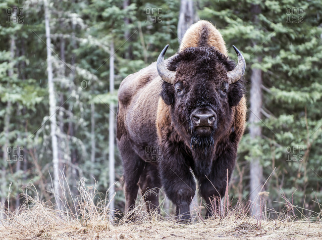 North American Bison in British Columbia Canada