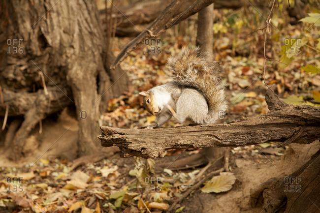 Squirrel bathing