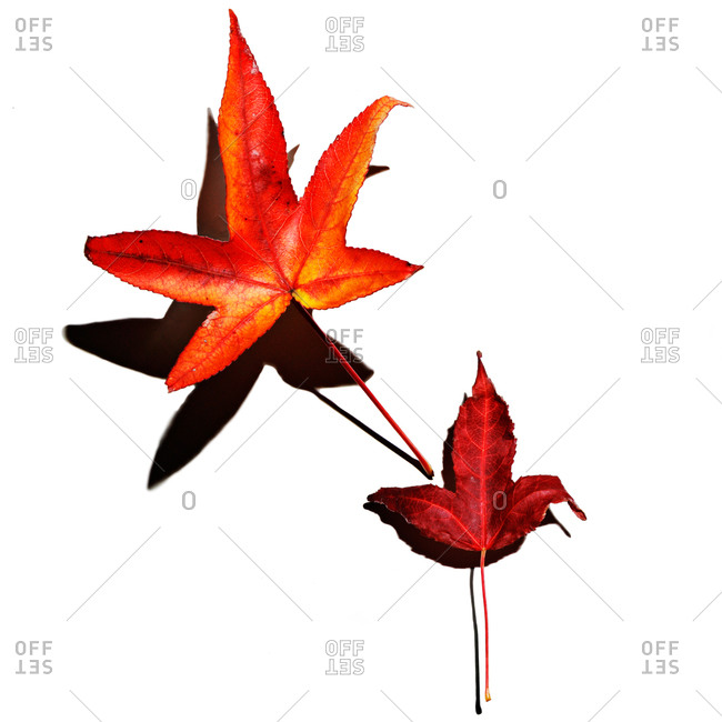 Orange and red Japanese maple leaves