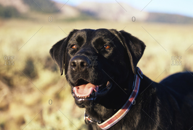 Black lab standing in a field